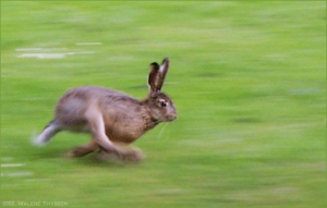 running_hare