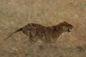 800px-serengeti_lion_running_saturated
