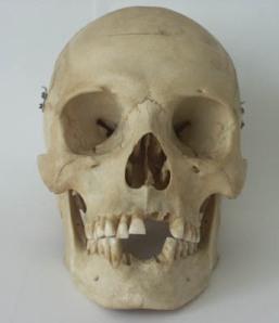 skullfromthefront